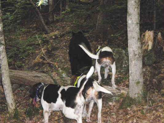 Bear Hunt With Sharp Tooth Pups