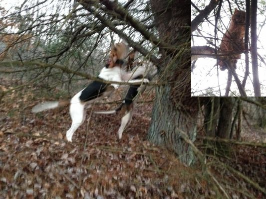 Sharp Tooth Kennels Treeing Walker Coonhounds Artemas PA